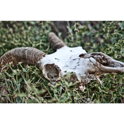 Big Horn Sheep Skull (print only)